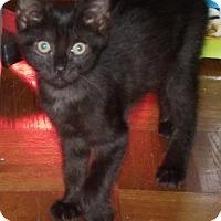 Adopt A Pet :: Black Kittens - Acme, PA