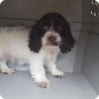 Adopt A Pet :: Grayson - Algonquin, IL