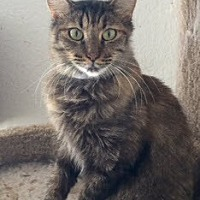 Maine Coon Cat for adoption in McKinney, Texas - Alice