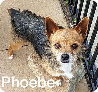 Yorkie, Yorkshire Terrier Mix Dog for adoption in McDonough, Georgia - Phoebe