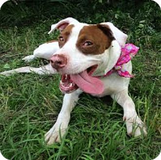 American Staffordshire Terrier Mix Dog for adoption in Darlington, South Carolina - Charlotte