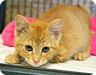 Domestic Shorthair Kitten for adoption in Killeen, Texas - Surfside