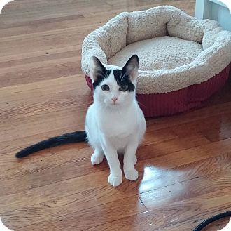 American Shorthair Kitten for adoption in New York, New York - Jerry