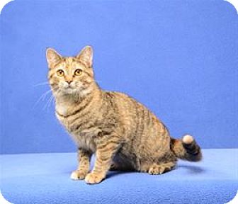 Domestic Shorthair Cat for adoption in Cary, North Carolina - Camille (Kitten)