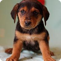 Adopt A Pet :: Kricket - Waldorf, MD