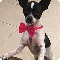 Adopt A Pet :: Trixie - Ocean Ridge, FL