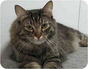 Domestic Mediumhair Cat for adoption in Fayetteville, Arkansas - Fancy