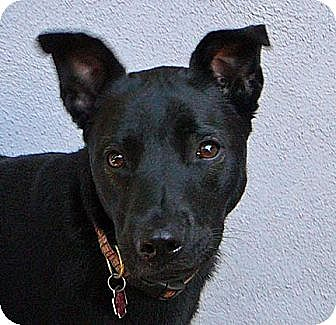 German Shepherd Dog/Rottweiler Mix Dog for adoption in Los Angeles, California - Cricket