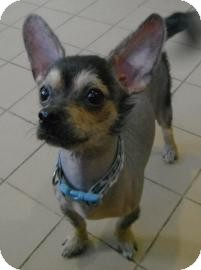 Chinese Crested/Chihuahua Mix Dog for adoption in Jackson, Michigan - Vader