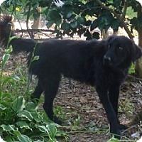 Adopt A Pet :: Gavin - Raleigh, NC