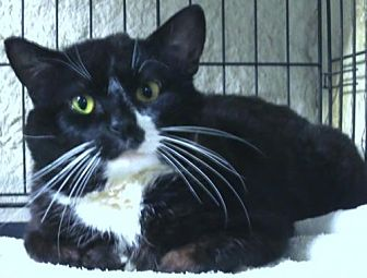 Domestic Shorthair Cat for adoption in Brooklyn, New York - Magnus the Great