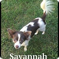 Adopt A Pet :: Savannah - Indian Trail, NC