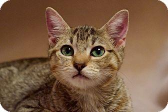 Domestic Shorthair Kitten for adoption in Columbus, Ohio - Wally