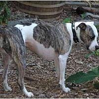 Bullmastiff/Boxer Mix Dog for adoption in Roswell, Georgia - Katrina