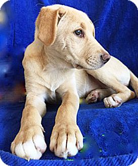Golden Retriever Mix Puppy for adoption in BIRMINGHAM, Alabama - Poppie
