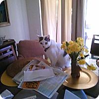 Adopt A Pet :: Lily - Laguna Woods, CA