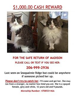 Domestic Longhair Cat for adoption in Issaquah, Washington - Lost Cat Madison - courtesy listing