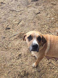 Anatolian Shepherd Mix Dog for adoption in waterbury, Connecticut - Rebecca