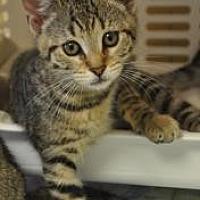 Domestic Shorthair Kitten for adoption in Pompano Beach, Florida - Victoria