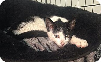 Domestic Shorthair Kitten for adoption in River Edge, New Jersey - Jada