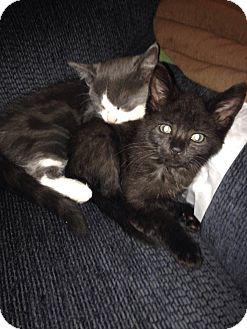 Domestic Shorthair Kitten for adoption in Lancaster, Pennsylvania - Panda