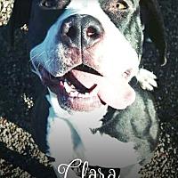 Adopt A Pet :: Clara - Tucson, AZ