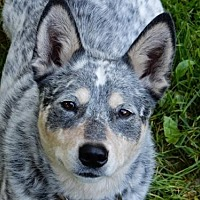Adopt A Pet :: ACD Mya is Deaf - Remus, MI