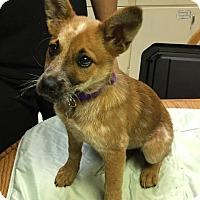 Adopt A Pet :: Lace - Wharton, TX