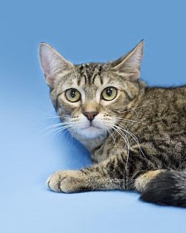 Domestic Shorthair Cat for adoption in Oviedo, Florida - Brownie