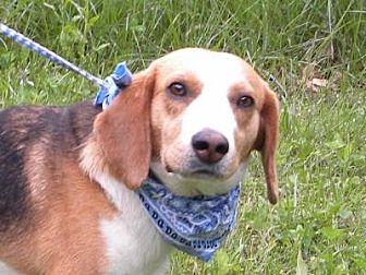 Beagle Dog for adoption in Princeton, Kentucky - Merle
