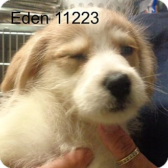 Golden Retriever/Dachshund Mix Puppy for adoption in Manassas, Virginia - Eden
