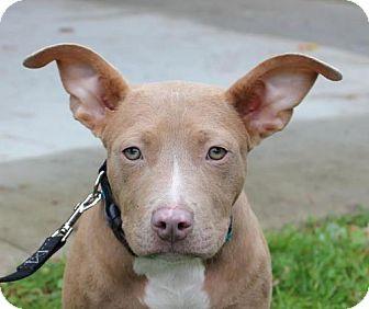 American Pit Bull Terrier Mix Puppy for adoption in Fulton, Missouri - Adele - Massachusetts