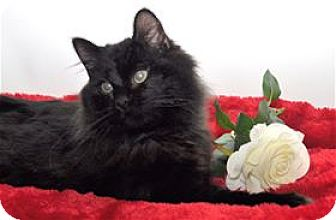 Domestic Longhair Cat for adoption in Lincoln, California - Montana