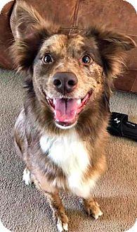 Australian Shepherd Mix Dog for adoption in Bradenton, Florida - Allie