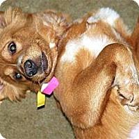 Adopt A Pet :: Butterscotch - New Boston, NH