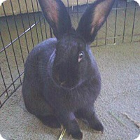 Adopt A Pet :: Honey Bunny - Portland, ME