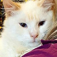 Balinese Cat for adoption in Lyons, Illinois - Marshmallow