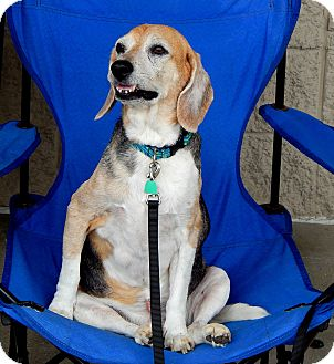 Beagle Dog for adoption in Indianapolis, Indiana - Marty