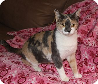 Domestic Shorthair Cat for adoption in Newport Beach, California - VENUS