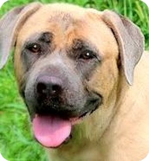 Bullmastiff Dog for adoption in Wakefield, Rhode Island - DIVA(WHAT A STORY--PLS READ!!)