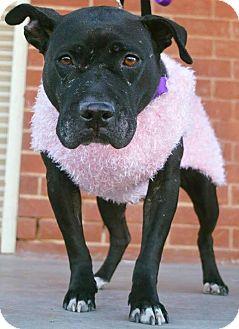Pit Bull Terrier Mix Dog for adoption in Durham, North Carolina - Tessa