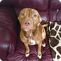 Pit Bull Terrier Mix Dog for adoption in Dayton, Ohio - Lisbeth
