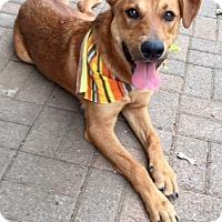 Adopt A Pet :: RED so handsome - plano, TX