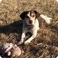 Beagle/Jack Russell Terrier Mix Dog for adoption in Staunton, Virginia - Alice