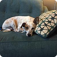 Adopt A Pet :: Dax - Courtesy Posting - McKinney, TX