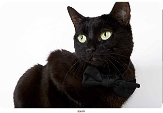 Domestic Shorthair Cat for adoption in New York, New York - Beauty