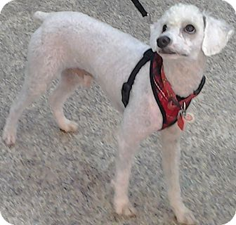 Poodle (Miniature) Mix Puppy for adoption in Thousand Oaks, California - Bernie