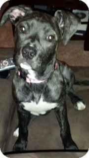 Boxer Mix Puppy for adoption in Morris, Illinois - SOUL