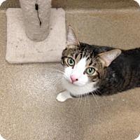 Adopt A Pet :: Stormy - Gilbert, AZ