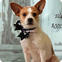 Adopt A Pet :: Ziggy in Houston - Houston, TX